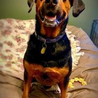 Adopt A Pet :: Duke (Gator) - McKinney, TX