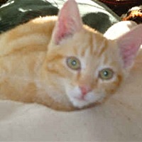 Domestic Shorthair Cat for adoption in 100 Mile House, British Columbia - Claire