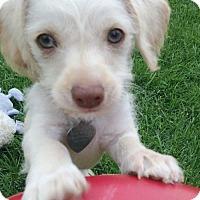 Adopt A Pet :: Olaf - Colorado Springs, CO