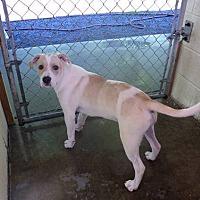 Labrador Retriever Mix Puppy for adoption in GREENLAWN, New York - Carson