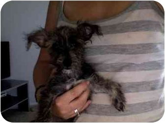 Terrier (Unknown Type, Small)/Yorkie, Yorkshire Terrier Mix Puppy for adoption in San Clemente, California - Jasper