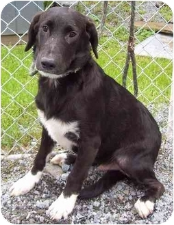Labrador Retriever/Hound (Unknown Type) Mix Dog for adoption in Howes Cave, New York - Junior - On Hold