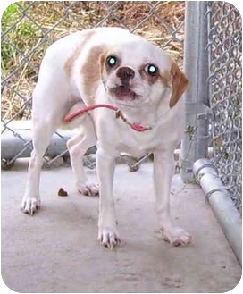 Chihuahua/Terrier (Unknown Type, Small) Mix Dog for adoption in Somerset, Pennsylvania - Katrina