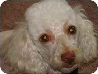 Miniature Poodle Mix Dog for adoption in Melbourne, Florida - BAKER