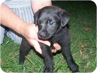 Corgi Mix Puppy for adoption in Vernon Hills, Illinois - George