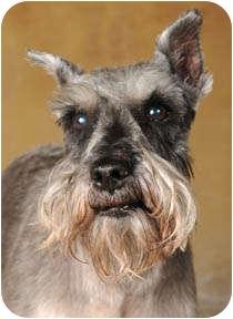 Schnauzer (Miniature) Dog for adoption in Chicago, Illinois - Frankie