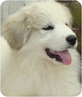 Great Pyrenees Puppy for adoption in Oklahoma City, Oklahoma - LOST Pyr-Sadie