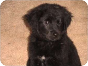 Labrador Retriever Mix Puppy for adoption in Houston, Texas - Benet