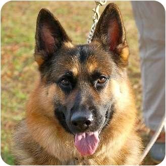 German Shepherd Dog Mix Dog for adoption in Preston, Connecticut - Maxx