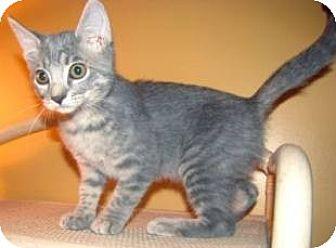 Domestic Shorthair Kitten for adoption in Miami, Florida - Graybie