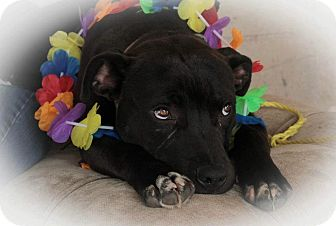 American Pit Bull Terrier/Labrador Retriever Mix Dog for adoption in Sacramento, California - Jedi