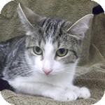 Domestic Shorthair Cat for adoption in Wheaton, Illinois - Oatmeal