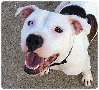American Bulldog/American Pit Bull Terrier Mix Dog for adoption in Louisville, Kentucky - Tulip