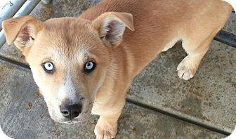 Siberian Husky/Golden Retriever Mix Puppy for adoption in Apple valley, California - Boone
