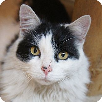 Domestic Longhair Cat for adoption in Medford, Massachusetts - Patrick
