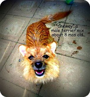 Terrier (Unknown Type, Small) Mix Puppy for adoption in Gadsden, Alabama - Chewey