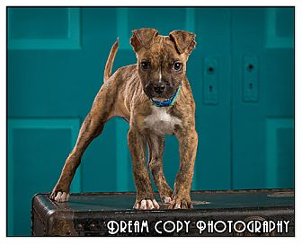 Pit Bull Terrier Mix Puppy for adoption in Owensboro, Kentucky - Wal-e