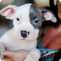 Adopt A Pet :: White & Blue Male Puppies - Reisterstown, MD