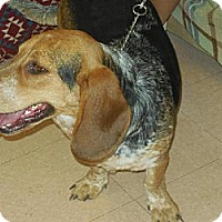 Basset Hound/Australian Cattle Dog Mix Dog for adoption in Porter Ranch, California - Perry(BRN)
