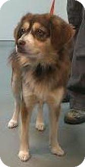 Australian Shepherd/Spaniel (Unknown Type) Mix Dog for adoption in Westminster, California - Wrangler