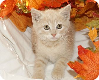 Domestic Shorthair Kitten for adoption in Berlin, Connecticut - Brina