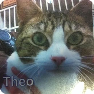 Domestic Shorthair Cat for adoption in Westminster, California - Theo