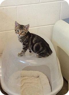 Domestic Shorthair Kitten for adoption in Atchison, Kansas - Tankard