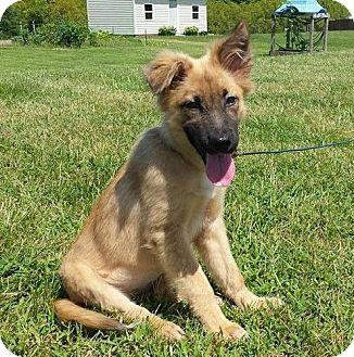 German Shepherd Dog Mix Dog for adoption in New Oxford, Pennsylvania - Olivia