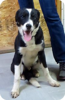 Border Collie/Australian Shepherd Mix Dog for adoption in Colville, Washington - Quincy