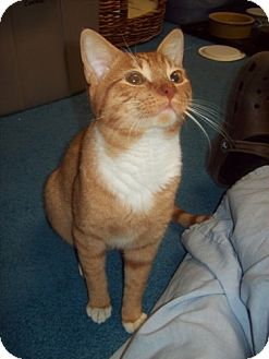 Domestic Shorthair Cat for adoption in Green Cove Springs, Florida - Roy