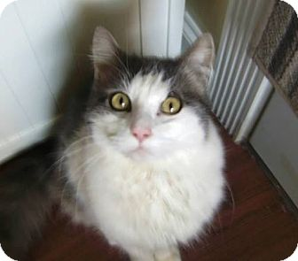 Domestic Longhair Cat for adoption in Monroe, North Carolina - Bennie