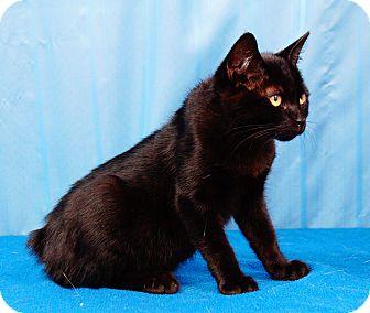 Manx Kitten for adoption in Maynardville, Tennessee - Ida