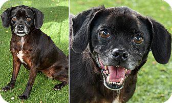Pug Mix Dog for adoption in San Antonio, Texas - Harmonica