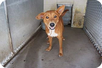 Labrador Retriever Mix Dog for adoption in Henderson, North Carolina - Nickel