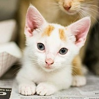 Domestic Shorthair Kitten for adoption in Decatur, Georgia - Pea - Adopted