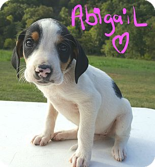 Beagle Mix Puppy for adoption in Burlington, Vermont - Abigail