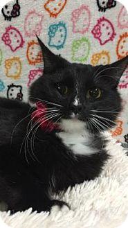 Domestic Mediumhair Kitten for adoption in Fountain Hills, Arizona - RENATA