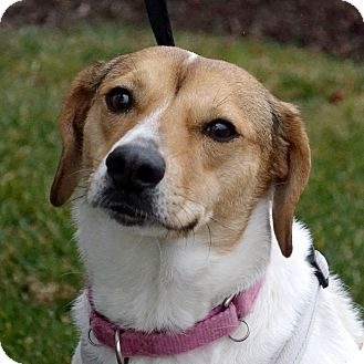 Beagle Mix Dog for adoption in Columbia, Illinois - Vivian