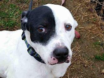 Pit Bull Terrier Dog for adoption in Rogers, Arkansas - MOONLIGHT