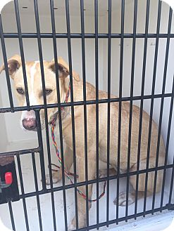 Labrador Retriever/Pit Bull Terrier Mix Dog for adoption in Humble, Texas - Buttercup