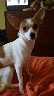 Chihuahua Mix Dog for adoption in Mesa, Arizona - Posey