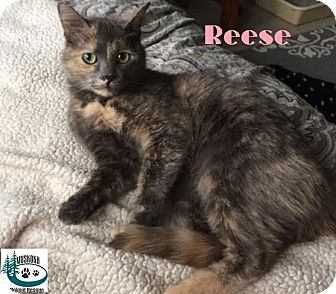 Domestic Shorthair Cat for adoption in Huntsville, Ontario - Reese - Adopted May 2017