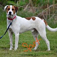Coonhound Dog for adoption in Lebanon, Missouri - Spot