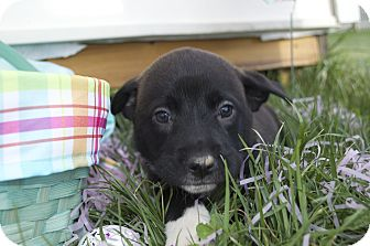 Labrador Retriever/Golden Retriever Mix Puppy for adoption in Forest Hill, Maryland - Leif