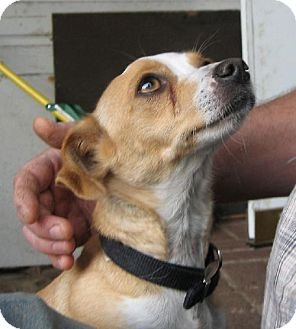 Chihuahua Mix Dog for adoption in Tacoma, Washington - Tula