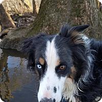 Border Collie/Australian Shepherd Mix Dog for adoption in Hagerstown, Maryland - Kona Blu