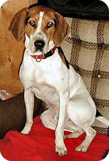 Coonhound/Treeing Walker Coonhound Mix Dog for adoption in Ontario, Ontario - Rubin