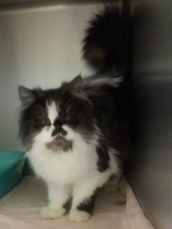 Persian/Domestic Shorthair Mix Cat for adoption in Muskegon, Michigan - mow mow