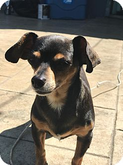 Chihuahua Mix Dog for adoption in Silverdale, Washington - Molly