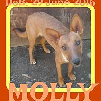 Adopt A Pet :: MOLLY - Allentown, PA